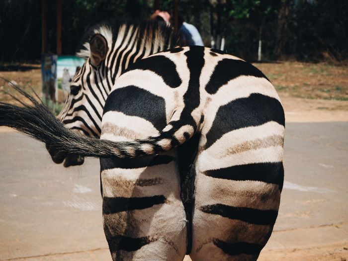 Rear view of zebra at zoo