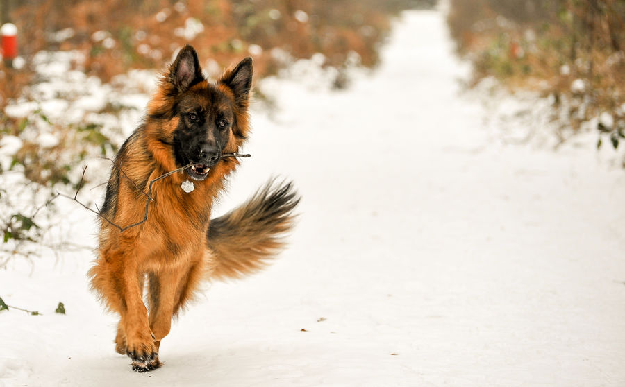 Animal Themes Day Domestic Animals Focus On Foreground German Shepherd Looking Away Luxmom Mammal Nature One Animal Outdoors Pets Snow Winter Showcase April