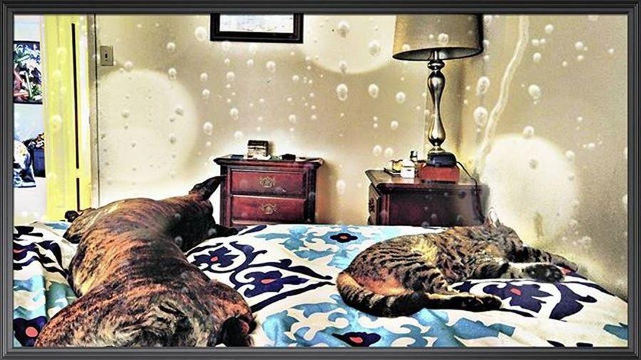 How their spending there damp ☔☁ Thursday morning. Lazythursday Damp Rainy Pitbullsofinstagram Pitbull Dontbullymybreed DSH Kitty Cat