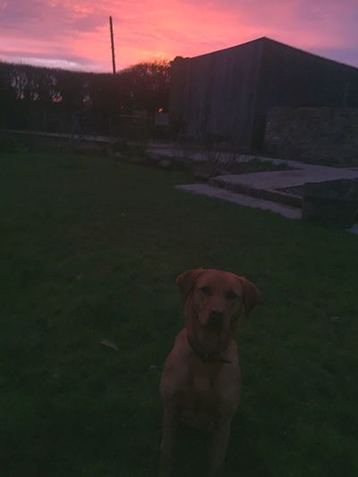 Fox Red Lab Labrador Pets Domestic Canine Dog Domestic Animals Mammal One Animal Animal Themes Animal Vertebrate Grass Field Sky No People Land Sunset Standing Plant Nature Outdoors