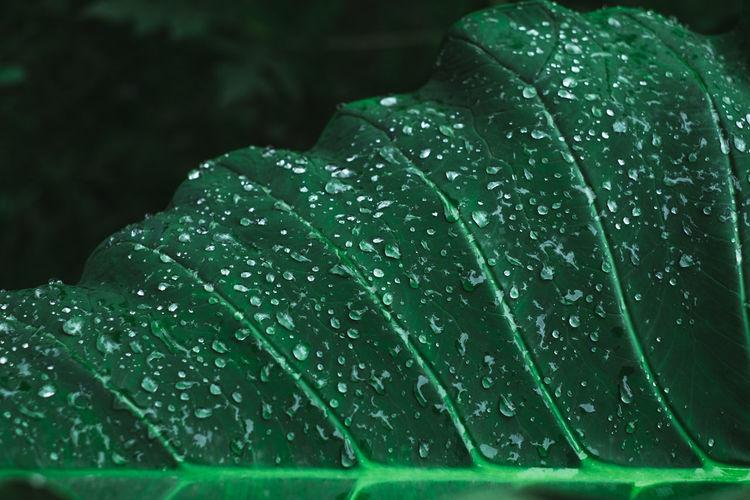 Close-Up Of Wet Leaf During Rainy Season