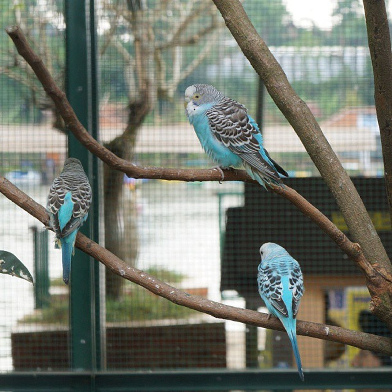 bird, perching, animal themes, animal wildlife, animals in the wild, parrot, budgerigar, day, nature, tree, outdoors, no people, beauty in nature