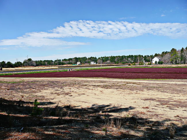 View of a cranberry bog in Carver, Massachusetts, USA Agriculture Cranberry Bog USA Bog Carver Cranberries Day Forest Landscape Massachusetts Nature No People Orchard Outdoors Seasonal Shed Sky Tree Water