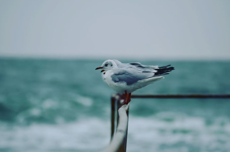 Close-up of seagull perching on sea against clear sky