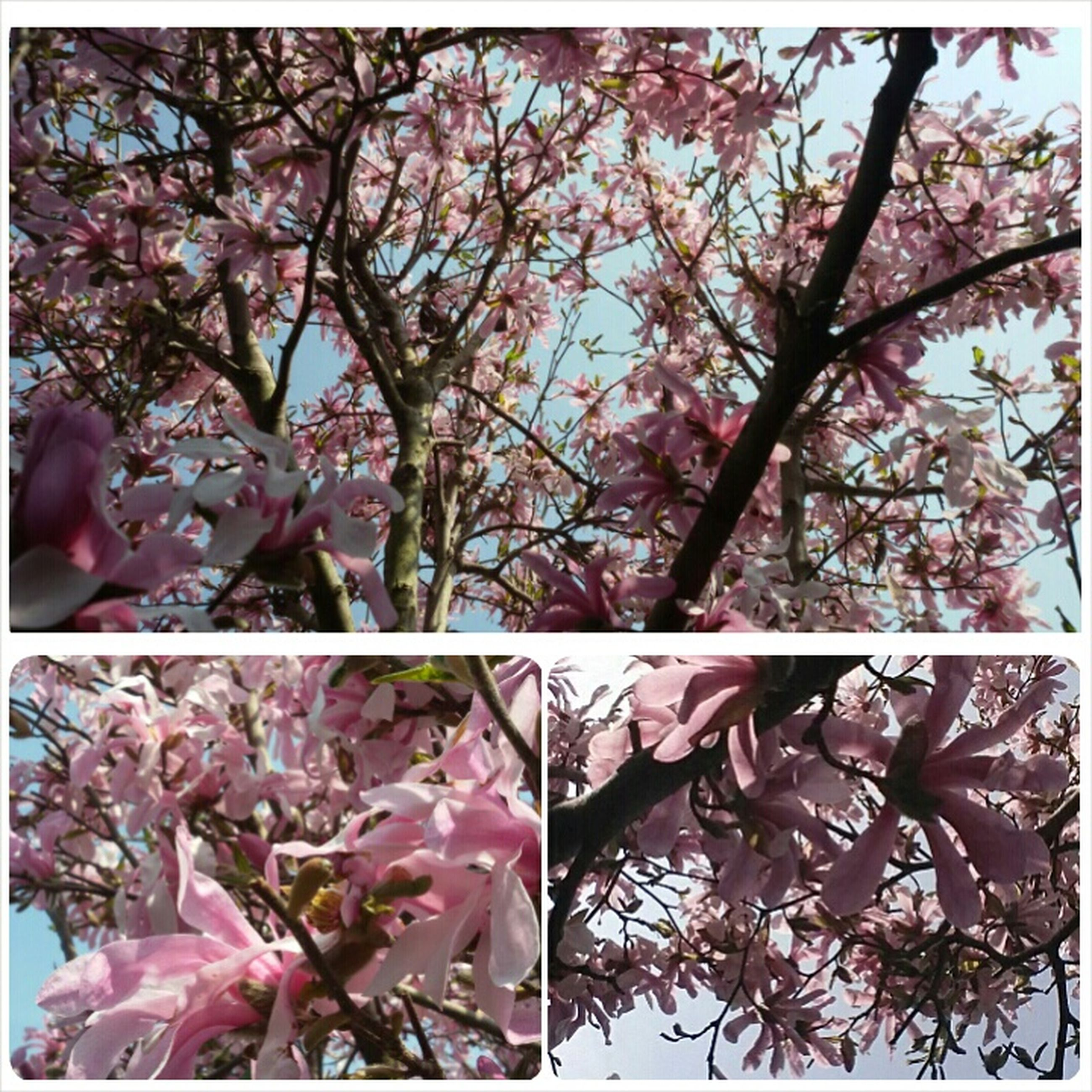 flower, branch, tree, low angle view, growth, freshness, pink color, fragility, blossom, beauty in nature, cherry blossom, nature, transfer print, auto post production filter, pink, cherry tree, in bloom, springtime, petal, blooming