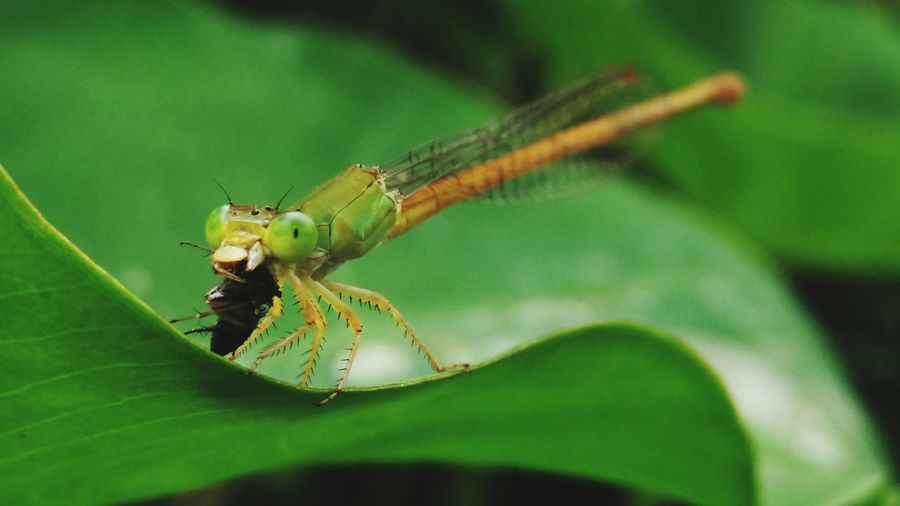 Macro shot of damselfly hunting insect on leaf