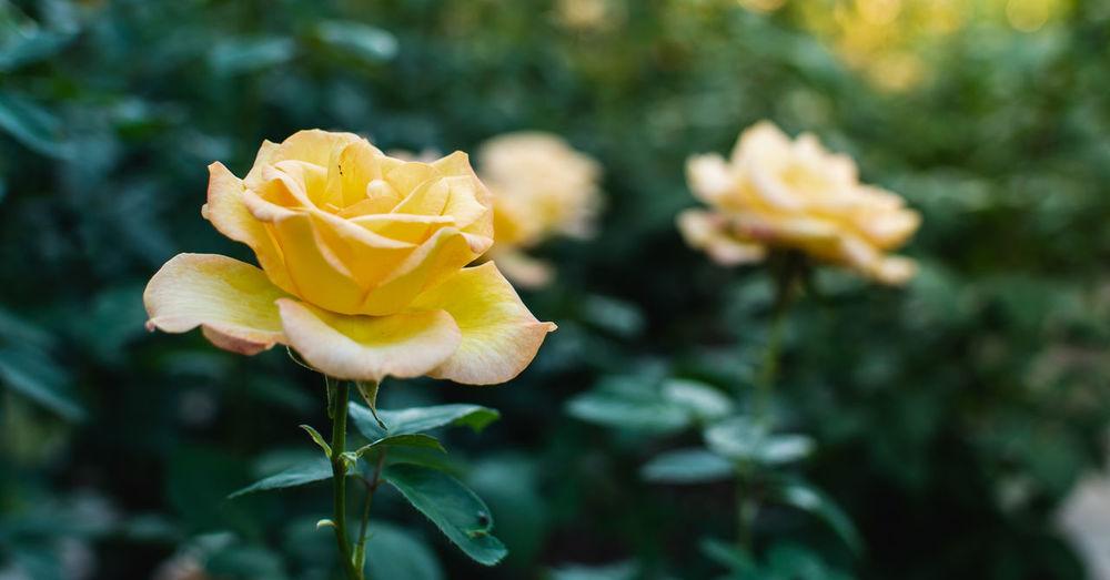 Dazzling rose