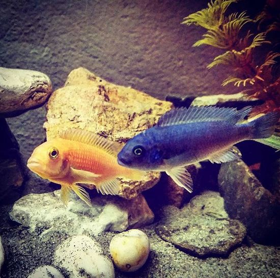 Nuovi inquilini Ciclidiafricani Pseudotropheus Zebra Cobalt Orange Fish New Mypet Acquarium Acquariofilia Yess @leleee_93_