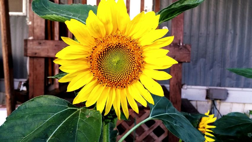 Sunflower Nature On Your Doorstep Plants And Flowers Summer2015 Check This Out