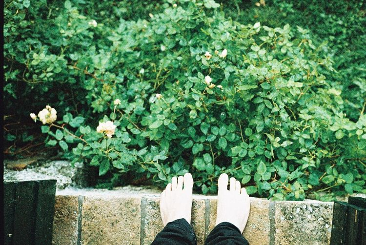 High angle view of human bare feet next to rose bush