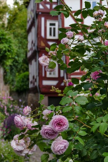 Fachwerkhaus Hessen Germany Marburg An Der Lahn Rosenbusch Beauty In Nature Blooming Close-up Day Flower Flower Head Focus On Foreground Fragility Freshness Growth Leaf Nature No People Outdoors Petal Pink Color Plant Tree