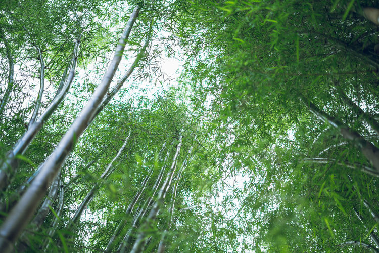 bamboo Tree Plant Forest Growth Land Green Color Beauty In Nature Tranquility Low Angle View No People Nature Day Branch Bamboo Grove Bamboo - Plant Tree Trunk Outdoors Trunk Backgrounds Tranquil Scene Tree Canopy  Directly Below