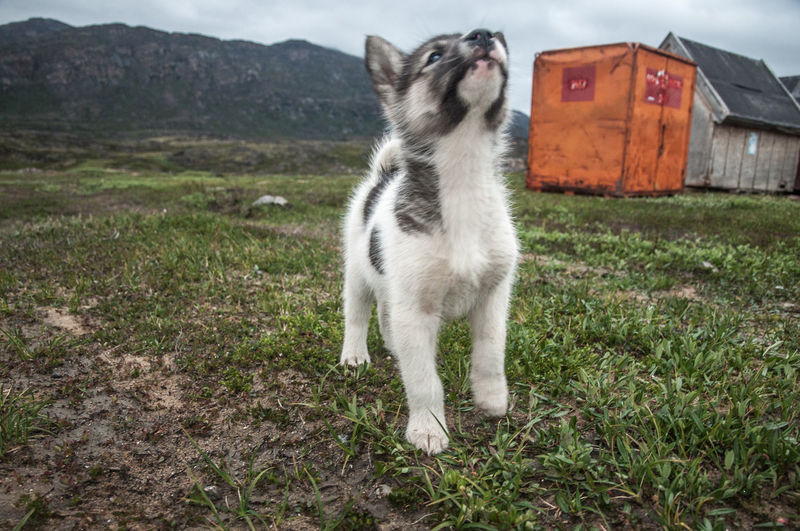 Animal Themes Day Domestic Animals Domestic Cat Field Grass Greenland Greenland Dog Inuit Malamute Mammal Nature No People One Animal Outdoors Pets Puppy Sled Dog