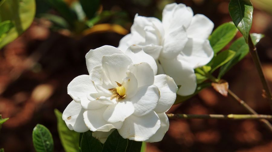Flower Flowering Plant Plant Beauty In Nature Freshness White Color Close-up