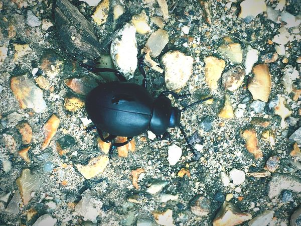 Beetle High Angle View No People Day Outdoors Close-up Nature Bugs Insect Black Beetles