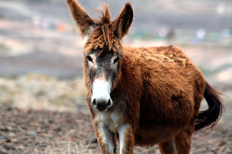 Portrait Of Brown Donkey Standing On Field
