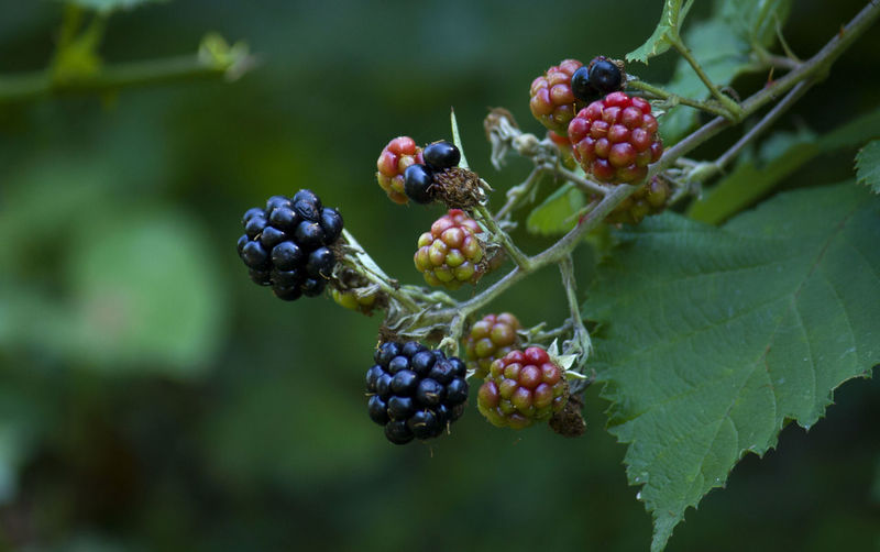 Close-up of black berries on tree