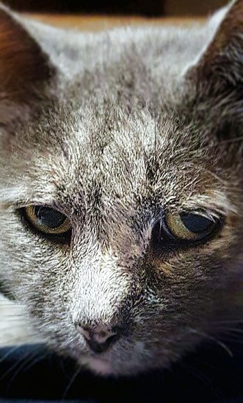 Silver Cat Cat♡ Cat Lovers Cats Of EyeEm Colour Of Life Beautiful Eyes Blue Cream Tortie Close-up Eye4photography  Pet Portrait Visual Creativity