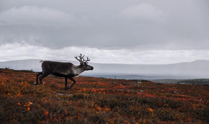 Deer standing on field against sky