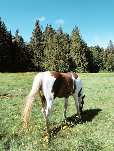 Paint horse grazing in a green grassy meadow Domestic Animals Meadow Farm Pinto Paint Horse Equine Horse Domestic Pets Animal Animal Themes Mammal Plant Domestic Animals One Animal Tree Sky Nature Field Grass