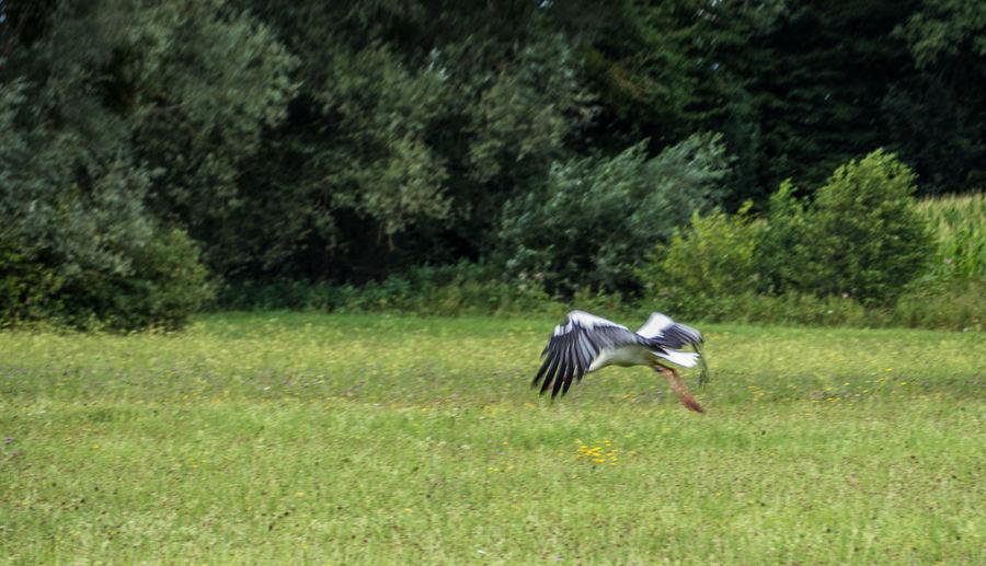 Baden-Baden, storch, vogel, flug, abflug, wiese , Stork