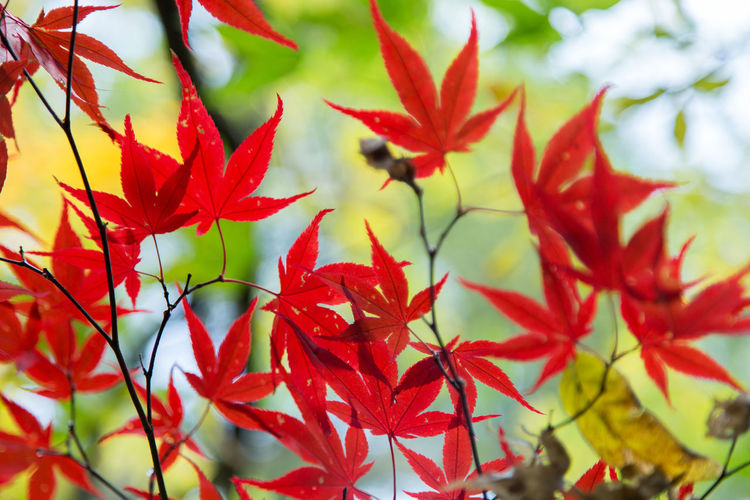 maple leaves on a try at Autumn Autumn Beauty In Nature Change Close-up Day Growth Leaf Maple Maple Leaf Maple Tree Nature No People Outdoors Red