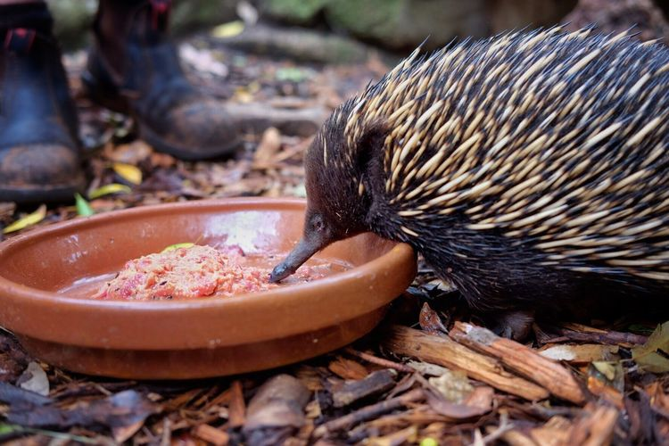Close-up of porcupine eating food