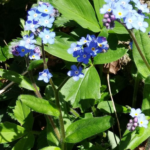 Forget Me Nots Blue Flowers Green Spring In My Garden Showcase April Ladyphotographerofthemonth Pacific Northwest  Washington Sunshine
