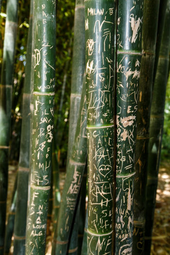 Bamboo - Plant