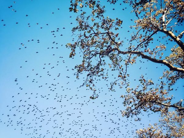 Invasion Large Group Of Animals Nature Tree Flying Clear Sky Animal Themes Sky Bird Animals In The Wild Day Outdoors Flock Of Birds No People Low Angle View Beauty In Nature Migrating Close-up