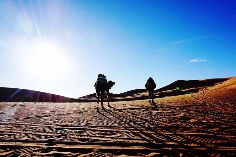 Morocco Erg Chebbi Desert Sunset Camels Dunes Shadow