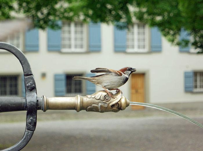 Sparrow on fountain against building