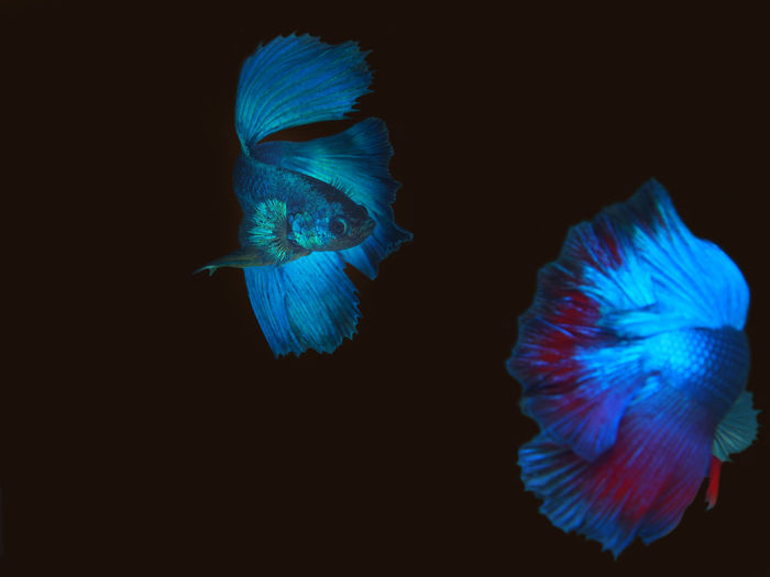 Animal Themes Beauty In Nature Black Background Blue Close-up Fish Nature Underwater