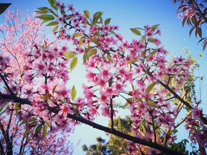 Green Natural Flawer🌸 Sakura