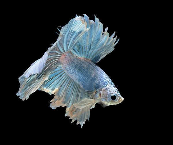 Siamese fighting fish fight blue fish, betta splendens, betta fish, half moon betta.