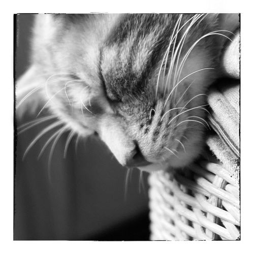 Domestic Cat Pets Domestic Animals One Animal Cat Feline Animal Themes Whisker Mammal Basket Indoors  No People Close-up Day Blackandwhite Monochrome Monochrome Photography Blackandwhite Photography
