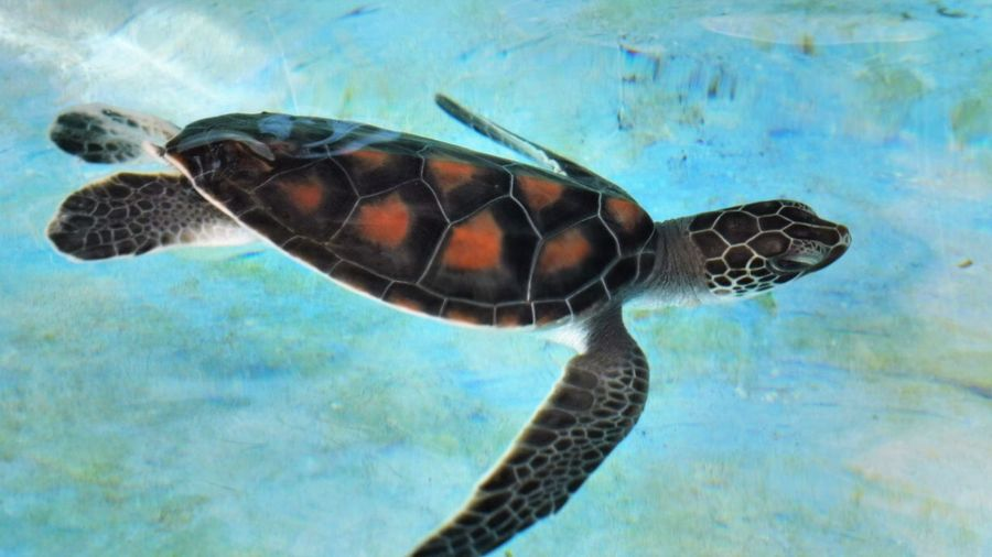 Sri Lanka Animal Themes Animal Wildlife Animals In The Wild Close-up Day Nature No People One Animal Outdoors Reptile Sea Sea Life Sea Turtle Swimming Tortoise Tortoise Shell Turtle UnderSea Underwater Water