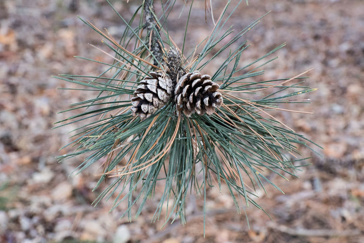 Beauty In Nature Branch Close-up Day Focus On Foreground Fragility Growth Nature Needle - Plant Part No People Outdoors Pine Cone Pine Tree Plant Tree