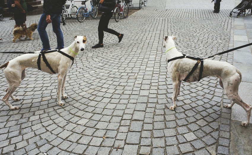 Dogs tied to leashes on cobbled street