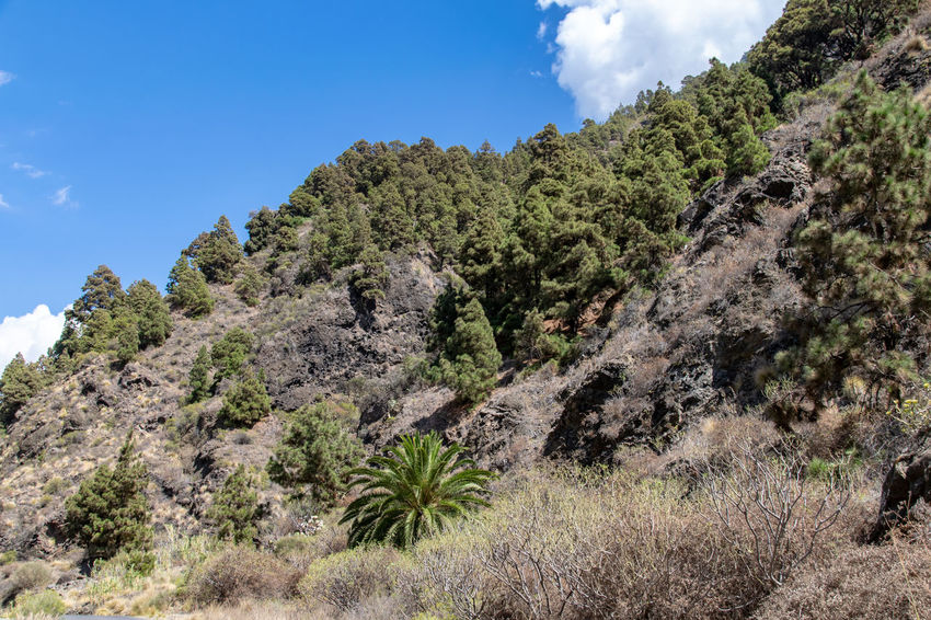 Sky Plant Tree Beauty In Nature Growth Scenics - Nature Nature Tranquility Tranquil Scene Day Mountain Non-urban Scene Cloud - Sky Land No People Environment Green Color Landscape Outdoors Low Angle View Barranco De Las Angustias La Palma, Canarias Ravine Volcanic Landscape Volcanic Rock