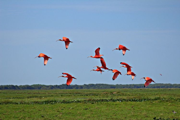 Scarlet ibises flying above grassy landscape