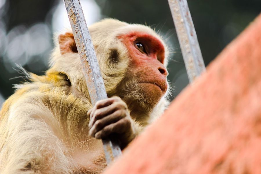 One Animal Selective Focus Monkey Monkey Face Red Face Monkey Indian Monkey Kamakhya Temple Waiting Focus On Foreground EyeEm Best Shots EyeEmBestPics Animal Looking For Food