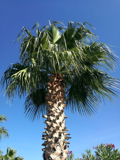 Palm Tree Tree Blue Sky Growth Nature Low Angle View Tree Trunk No People Day Outdoors Beauty In Nature Clear Sky Plant Part Close-up