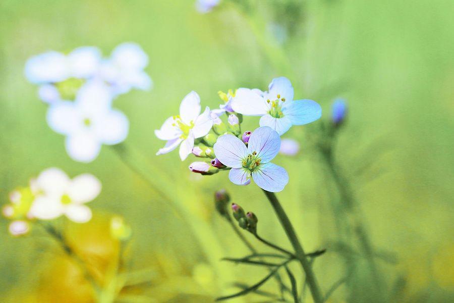 Cuckooflower EyeEm Selects Flower Flowering Plant Plant Freshness Fragility Vulnerability