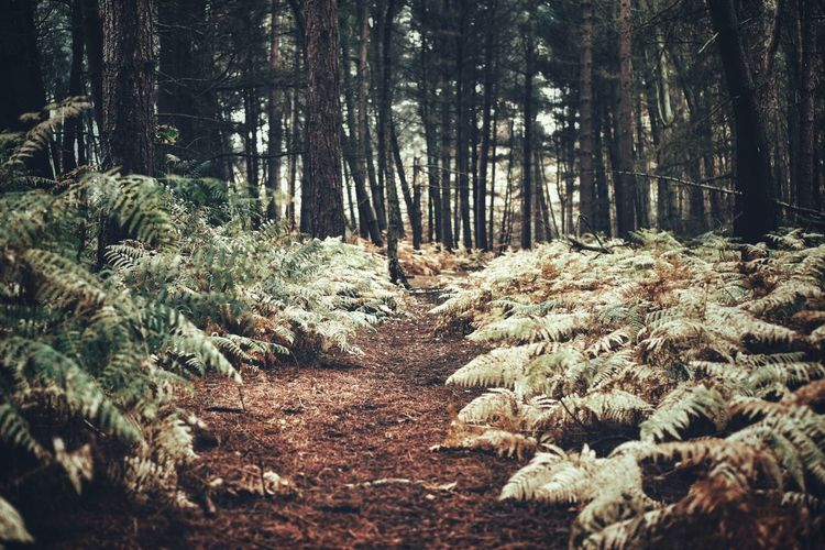 in the woods...... Woodlands Forest Photography Forest Ferns Autumn Colours... Subdued Colors Nature Path Pine Trees Land Tranquility Growth Footpath Outdoors Beauty In Nature Trail