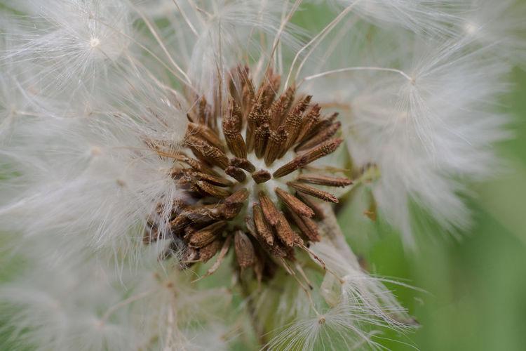 Macro shot of dandelion flower