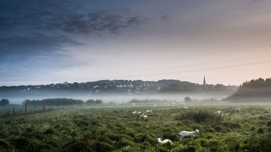 Morning fog Rural Animals Beauty In Nature Fog Landscape Meadow Morning Fog Nature No People Outdoors Rural Scene Sheep Sky Sunrise Tranquil Scene Tranquility Lost In The Landscape Lost In The Landscape