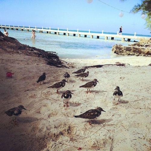 Rum Point birds Rumpoint Caribbean Caribbeansea Grandcayman birds caymanbirds wildlife