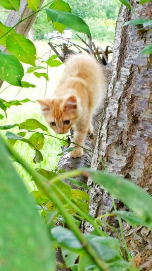 Kitten Cat American Bobtail Cats Bobtail Cats Cute Kittens Climbing Trees Kitten Playing Learning To Climb Climbing Curiosity Curious Kitten Orange Kitten Cat Photography Animals Animal Photography Concertrate Focused Stalking Cat Learning To Play