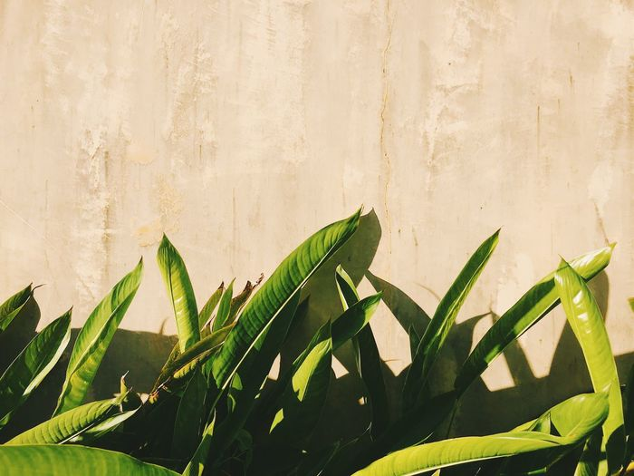 Close-up of green leaves on potted plant against wall